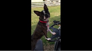 Boston Terrier begs owner to drive golf cart - Video