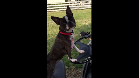 Boston Terrier begs owner to drive golf cart