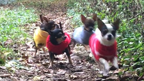 chihuahua family in the forest walk
