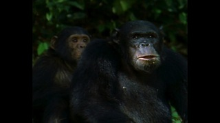 Grumpy Chimp Finds A Friend - Video