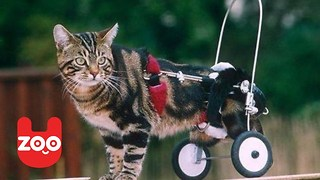 Disabled Cat Get A New Pair Of Wheels - Video