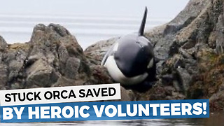 This Orca Was Stuck And Crying For Hours, But A Group Of Strangers Saves Him In The Oddest Way - Video