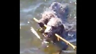 Two Dogs Fetch One Stick In Hilarious Fashion
