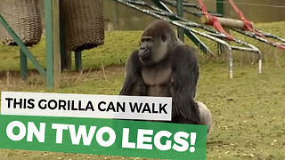 When This Gorilla Turned Around Everyone In The Zoo Took A Deep Breath For Good Reason - Video