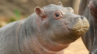 Cutest Baby Hippo - Video