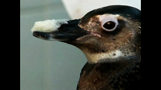 Penguin Gets Prosthetic Beak - Video
