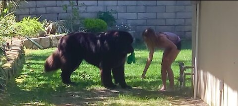 Tiny girl confidently trains her huge Newfoundland puppy