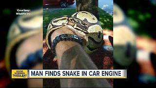Grandfather finds slithering surprise under hood of car in Bradenton - Video