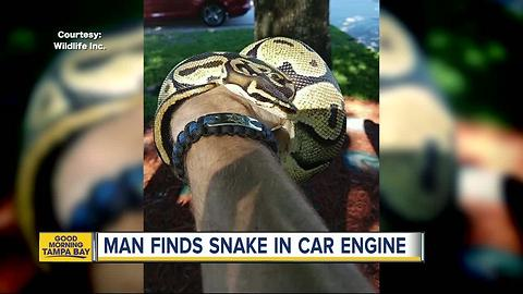 Grandfather finds slithering surprise under hood of car in Bradenton