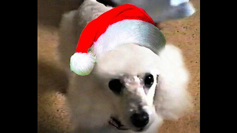 Senior poodle is a pro at opening Christmas presents