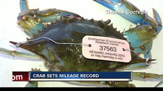 Tagged blue crab caught in Citrus County catches biologist's attention - Video