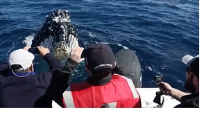 Humpback Whales Show Off for the Cameras for an Hour - Video