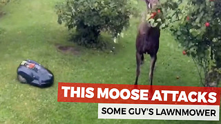 Moose Takes An Automatic Lawnmower Down - Video