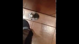 Little Kitten Climbs Up Owner's Leg