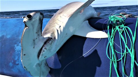 Galapagos guides work tirelessly to free sharks from illegal fishing gear