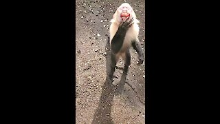 Monkey youngster adorably asks tourist for grapes