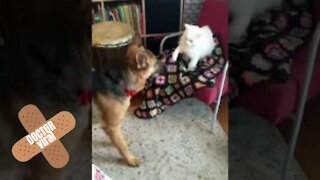 Cat Tries To Defend Her Blanket Whilst The Dog Tries To Steal It