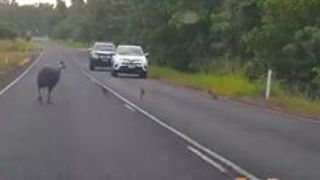 Video Shows Cassowary Chicks Days Before They Were Killed by Car - Video