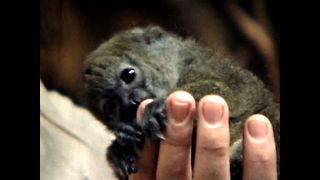Abandoned Lemur Gets New Mom
