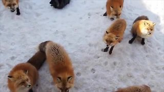 Fox village in Japan may be cutest place on Earth - Video