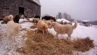 "Livestock guardian dogs take ""vicious"" playtime break"