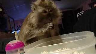 Monkey Agrees That Movies Are Always Better With Popcorn - Video