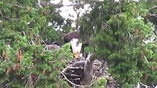 Baby Hawk Adopted by Bald Eagle Family - Video