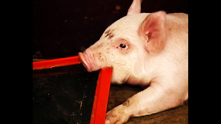 Piggy Water Bed - Video