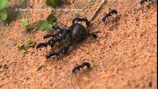 Blue Ants Work Together to Get Food - Video
