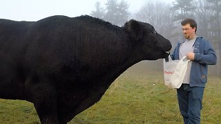 Giant bull turns his nose up at banana offering