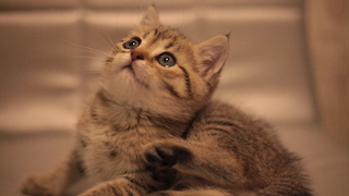 Сute british kitten  - Video