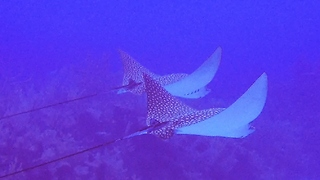 Diver swims with two massive and beautiful stingrays - Video