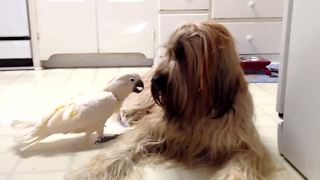 Cockatoo barks at her canine friend - Video
