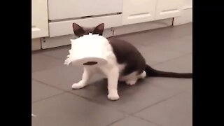 Crazy cat obsessed with stealing toilet paper rolls