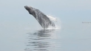 Stand-up Paddlers Get View of a Lifetime from Breaching Humpback Whale - Video