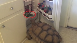 Tyler the Tortoise Has the Munchies - Video