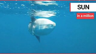 Massive sunfish was spotted swimming in British waters