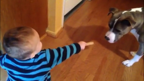 Pit Bull Is Excited When Baby Gives Her A MilkBone