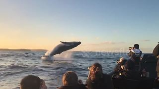 Humpback whale breaches right in front of tourist boat - Video