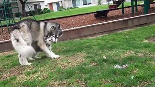 Husky adult and puppy's adorably cute playtime - Video