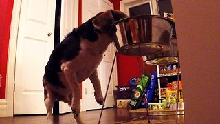 Hidden cameras catch greedy beagle stealing Great Dane's dinner - Video