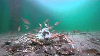 Rays Prey on Spider Crabs After Molting - Video