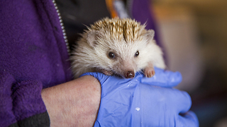 Animal Lover Turns Home Into Hedgehog Hospital: CUTE AS FLUFF - Video