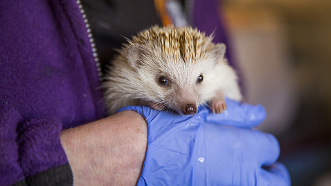 Animal Lover Turns Home Into Hedgehog Hospital: CUTE AS FLUFF