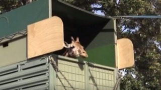 Female Giraffe Arrives by Truck at Perth Zoo - Video