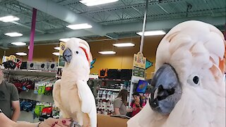 Hilarious Cockatoos Meet Each Other In Pet Store