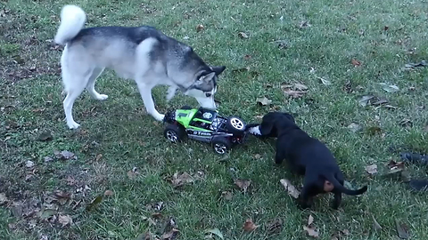Playful Dogs Go For A Hunt After A Remote Control Car