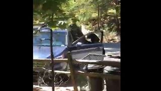 Brown Bear opens car door with ease