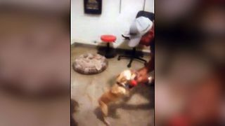 Chihuahua Boxing Champion - Video