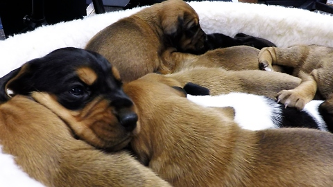 Basket of rescued puppies cry for food at feeding time